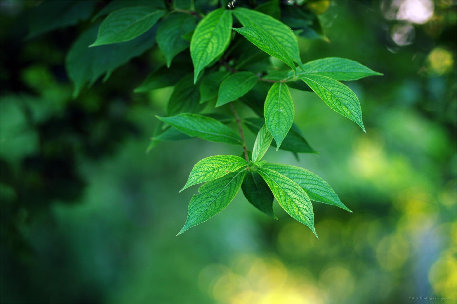 Le vert intense du Weigela